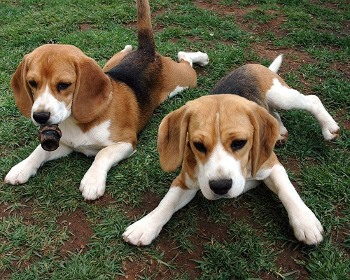 Beagle Dog Pictures and Wallpapers