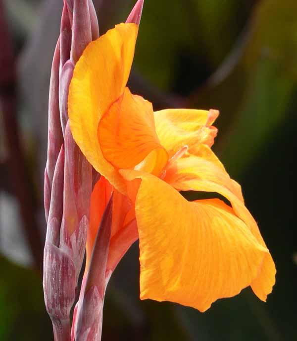 Canna indica fleurs flore de l le de la r union for Entretien jardin reunion