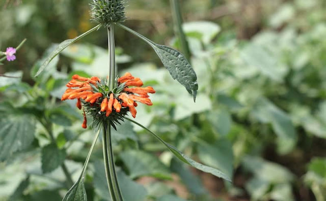 Lions Ear Flowers Pictures