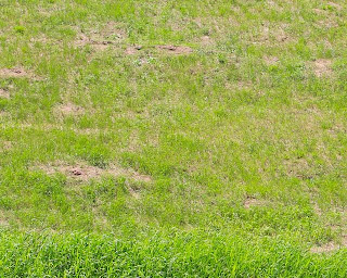 photo of Anoka Sand Plain grass