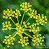 Heart-leaved Alexanders