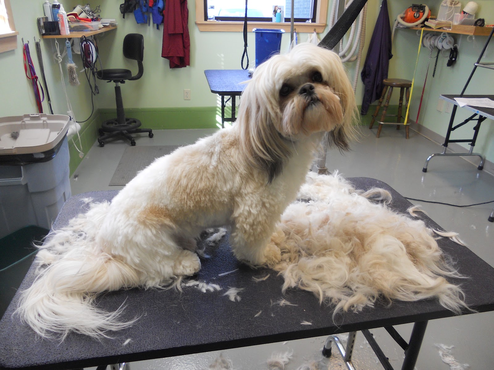 Memoirs Of A Pet Groomer Tuesday Transformations