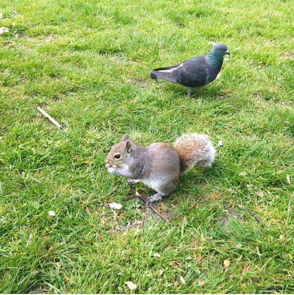 Pigeon et Ecureuil de Hyde Park Londres côté Queensway