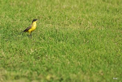 Yellow Wagtail @ Dubai Pivot Field