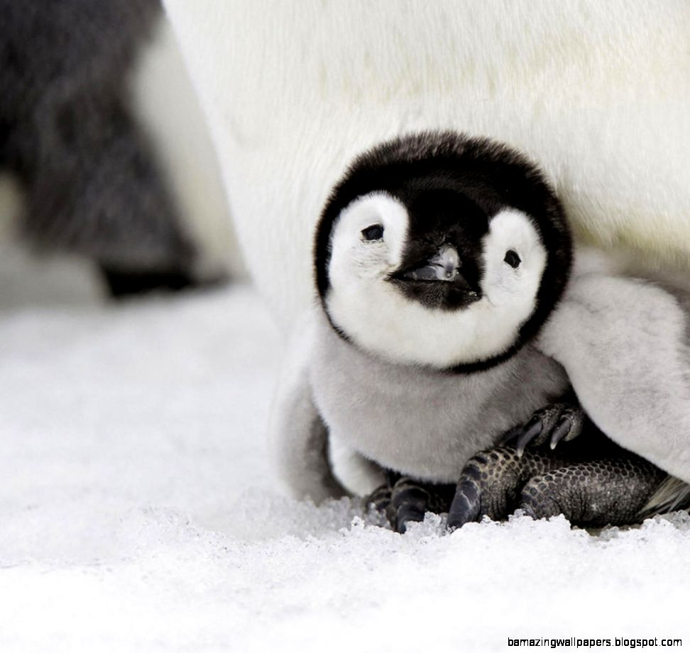 Cute Baby Penguins 6902396