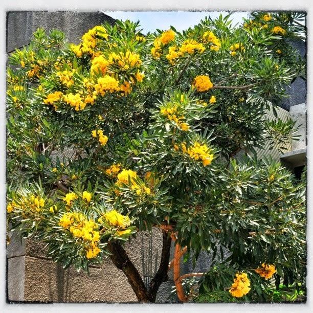 Jual Pohon Tabibuya Atau Tabebuia Kuning Tukang Pohon