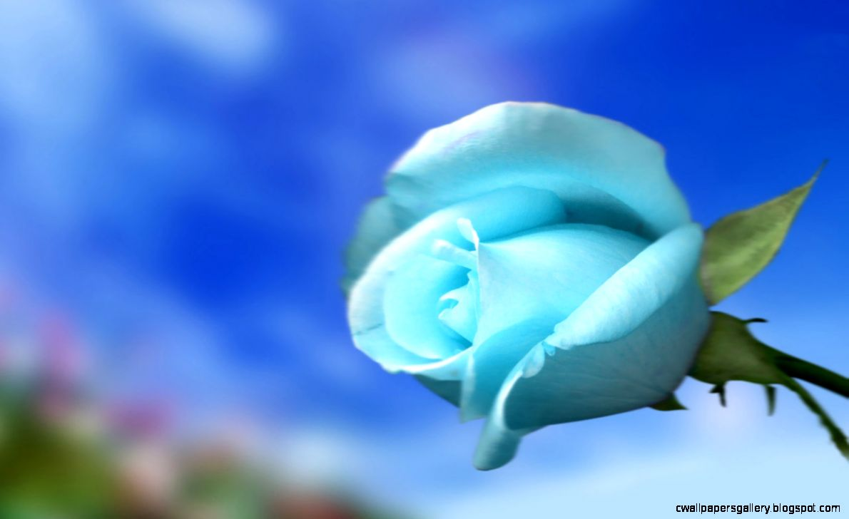 Flowers For Wallpaper   Sky Blue Rose   Wallpapers