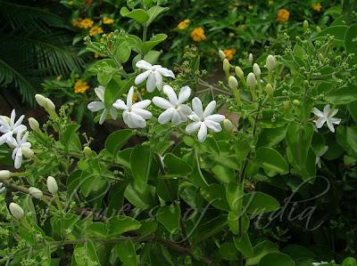 Jasmine Species - Jasminum auriculatum