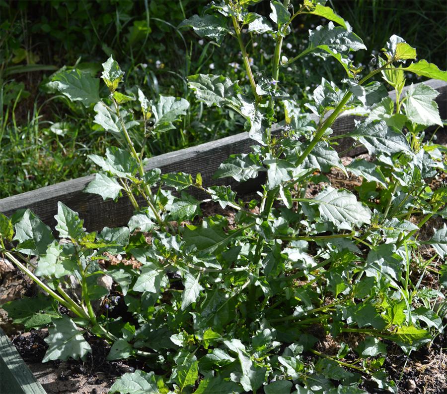 Have You Ever Heard Of A Garden Huckleberry?