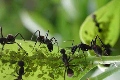 Por que as formigas desapareceram de região no sul da Argentina?