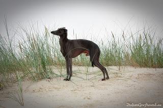 NATAN z Ochoczej Italian Greyhound