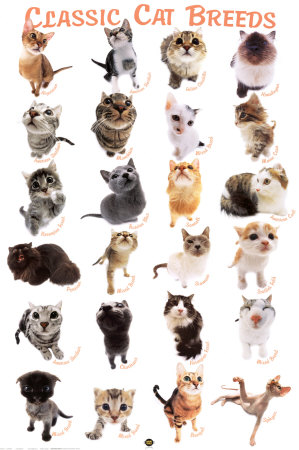 My top collection cat breeds and pictures 3