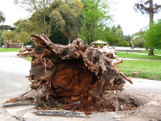 fallen tree wind root eucalyptus landscape