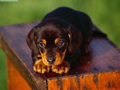 perro salchicha cachorro wallpaper