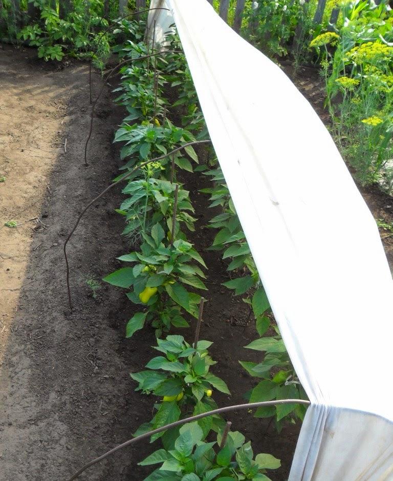 Сладкие перцы притеняю от солнышка- жара приближается к 35!