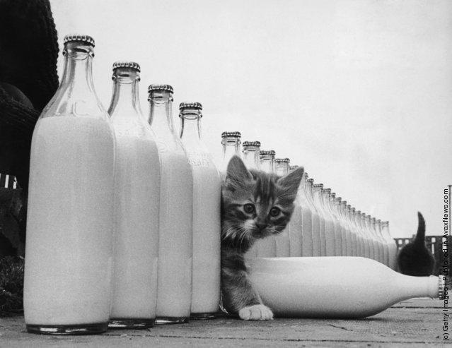 Котенок, в окружении бутылок молока. (1964 г.)