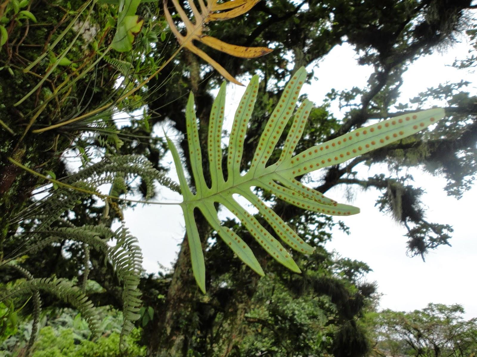 Helecho epifito del género Phlebodium , mostrando sus soros color