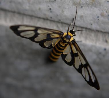 Taiwanese Moth Wasp