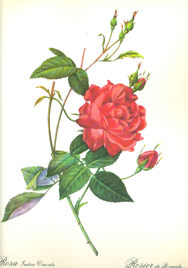 chopin with cherries on chopin s roses for s day vol