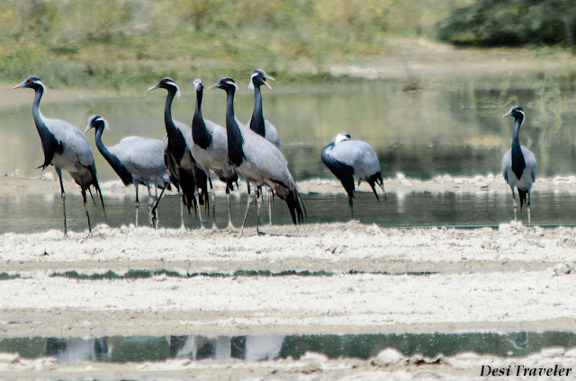 Demoiselle cranes (Anthropoides virgo) Kronch Crane Salt pans Rajasthan