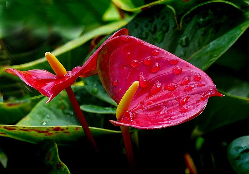 The Heart-Shaped Flower, Anthurium