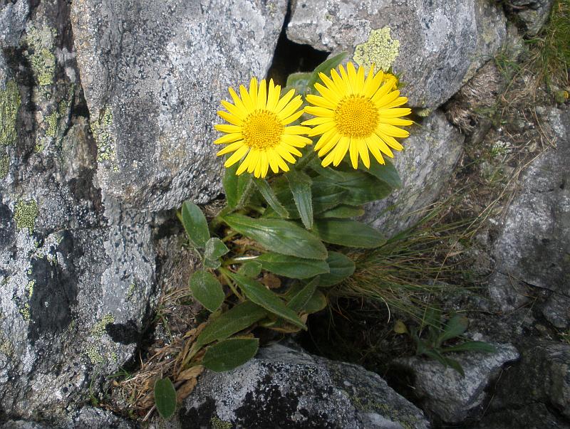 Kwiaty pod Kozią Przełęczą Wyżnią.