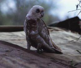 Foto African Grey Parrot (Kakatua Abu-abu Afrika)