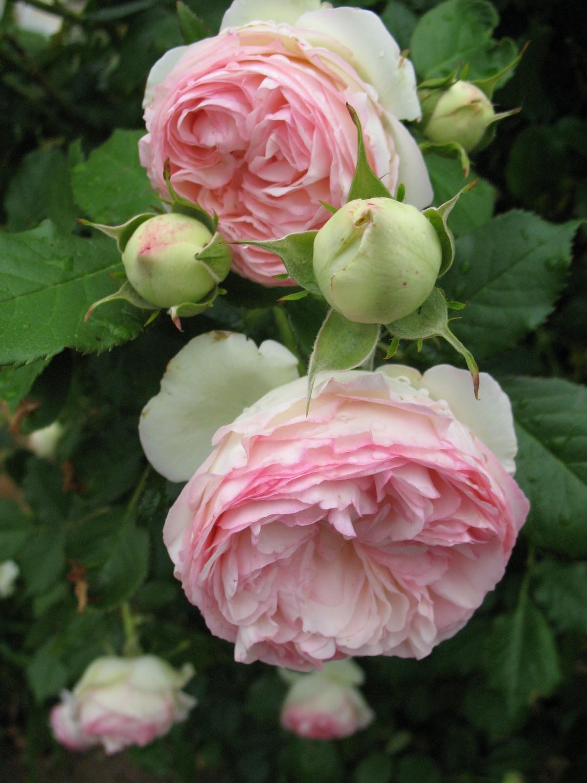 roses du jardin ch neland roses et vivaces. Black Bedroom Furniture Sets. Home Design Ideas
