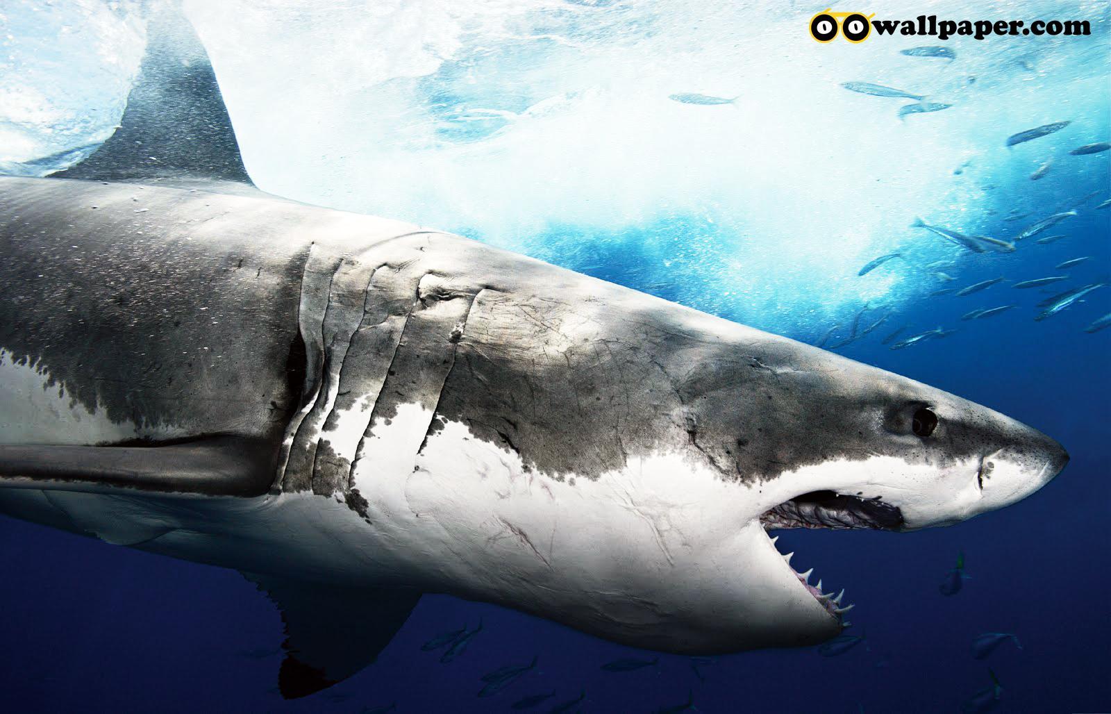 http://3.bp.blogspot.com/-oFm2Tv8trxI/TwWV-wMphLI/AAAAAAAAAM0/QBPnagn-_6o/s1600/oo_shark_005.jpg