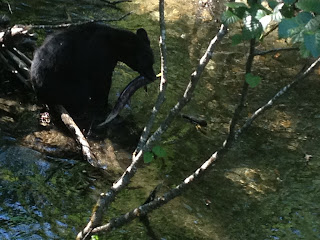 Black bear catching salmon