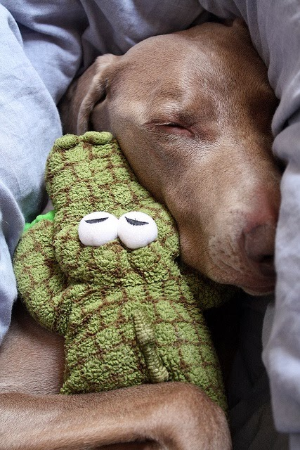 pinterest favorite - dog sleeping with stuffed alligator