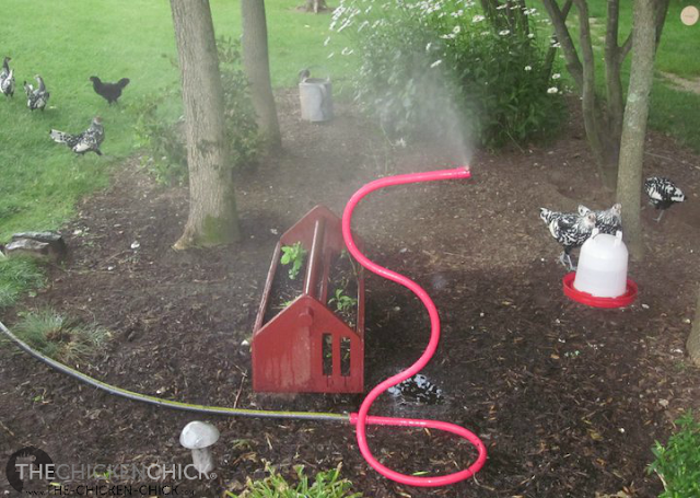 """Employ misters in shady areas of the chicken yard. Misters work by """"flash evaporation"""" to cool the air."""