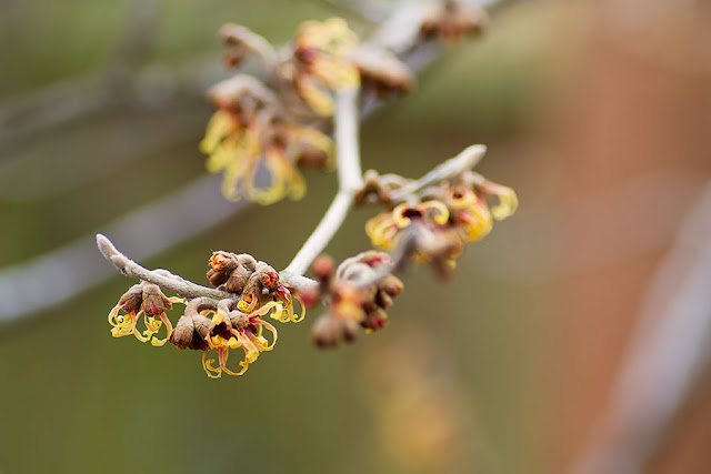 Witch-hazel Hamamelis x intermedia 'Jelena' in December