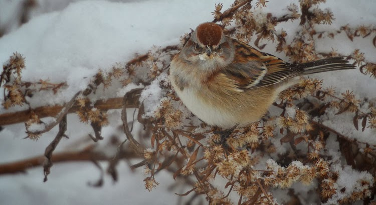 Head-on view of an American Tree Sparrow on golden rod in the snow.