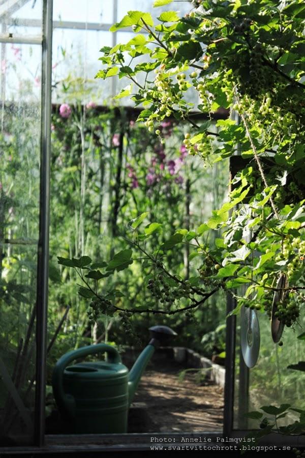 växthus, växthuset, växthusen, trädgård, trädgården, trädgårdar, vattenkanna, odla, grönsaker, blommor