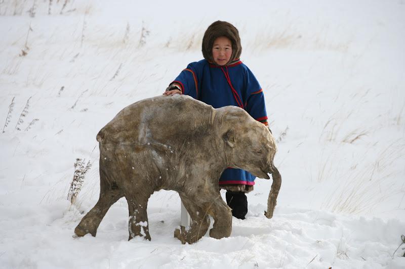 A mamute Lyuba poderá ser clanada e reviver os mamutes na terra