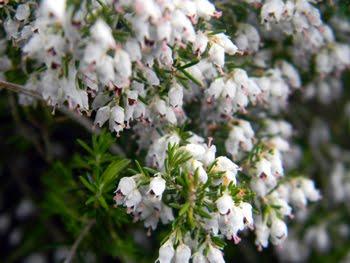 Erica arborea (Scopa da bosco)