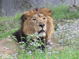 The Asiatic lion.