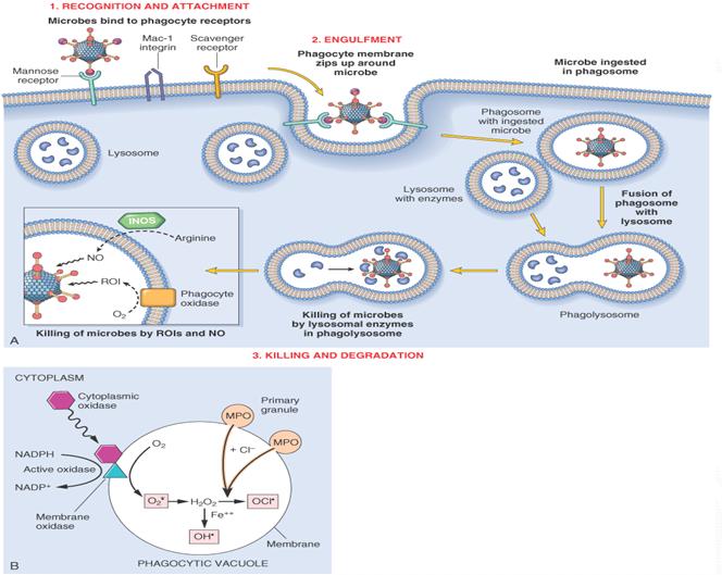 steroids mast cells
