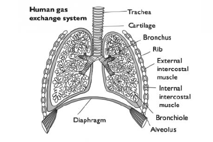 50 the gas exchange system biology notes for a level plan diagrams of the structure of the walls of the trachea bronchi bronchioles ccuart Gallery