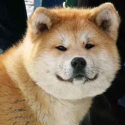 Japanese Akita Dog Breed