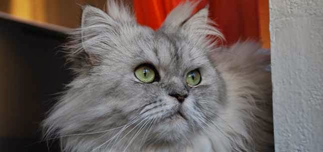 Kucing Parsi di tepi pintu