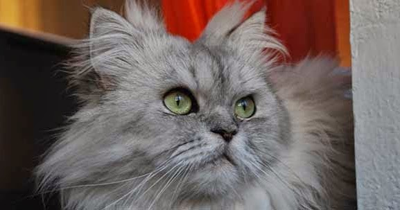 Penjagaan Khusus Kucing Parsi Alam Kucing
