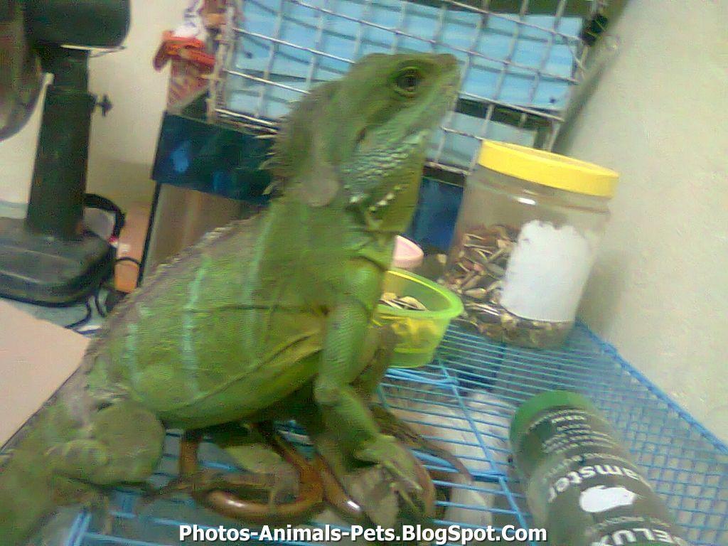 Water dragon pet