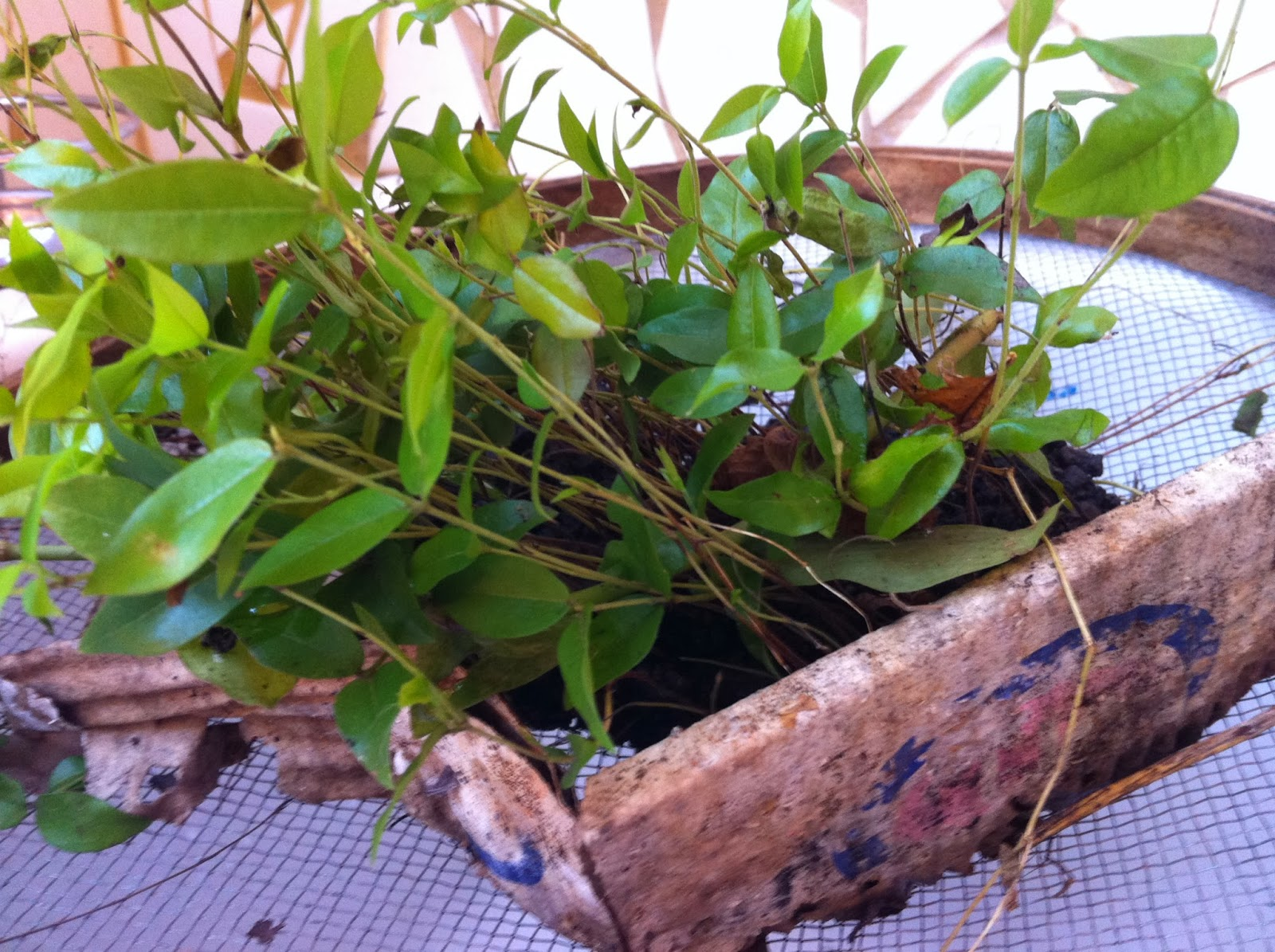 Amado come-se: A arte de plantar jabuticabas PM11