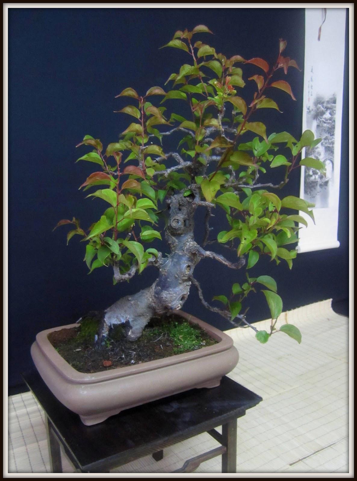 Mi pasion por el bonsai vendo prunus mume for Bonsai vendo