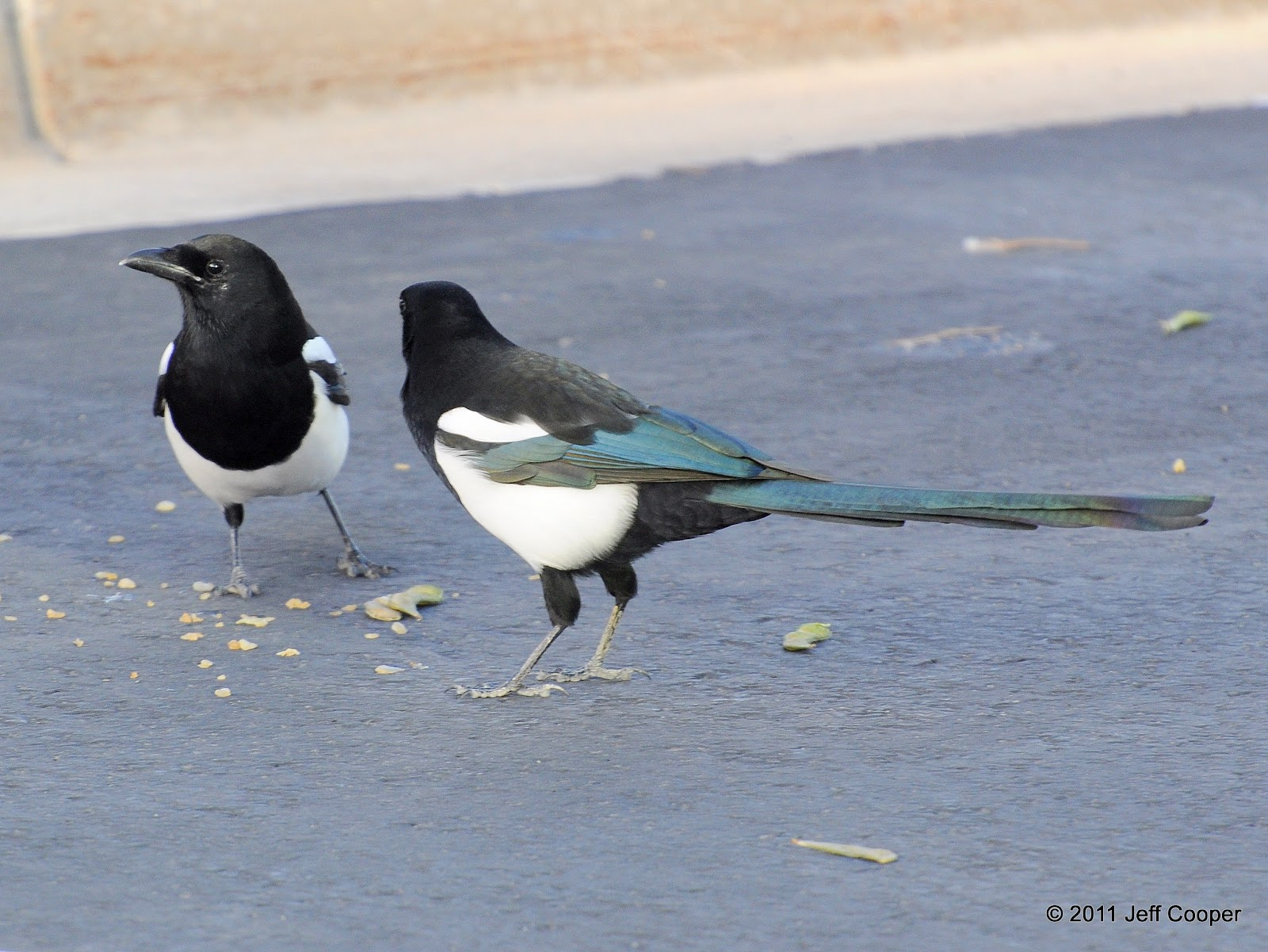 neovista birding a new crop of magpies