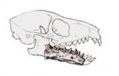 Purgatorius skull