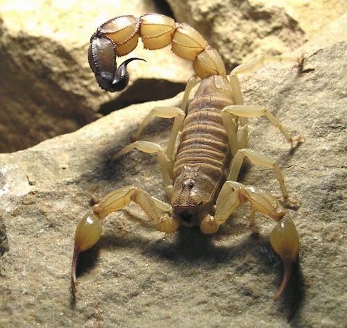 Escorpião mais venenoso do mundo