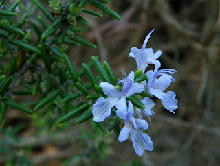 Closeup of Rosemary Blossom
